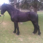 Friesian with severe locking stifles before CS