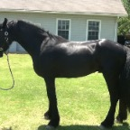 Friesian after his 3rd treatment, balance restored and stifles no longer locking